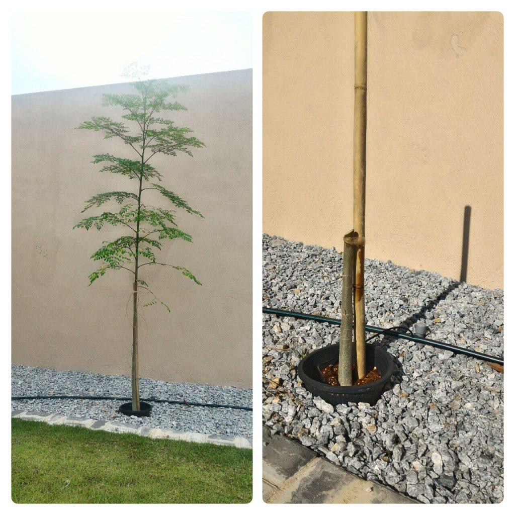 """Kelora.k.a Moringa. Dah besar, ingat kita tak mau pokok besar, kita nak pokok renek. Maka di potonglah 1 kaki dari paras tanah. Again, JANGAN KASIHAN !!! """""""