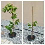 limau-manis-pruning-july-2016