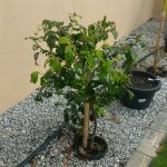Pokok Epal Bidara