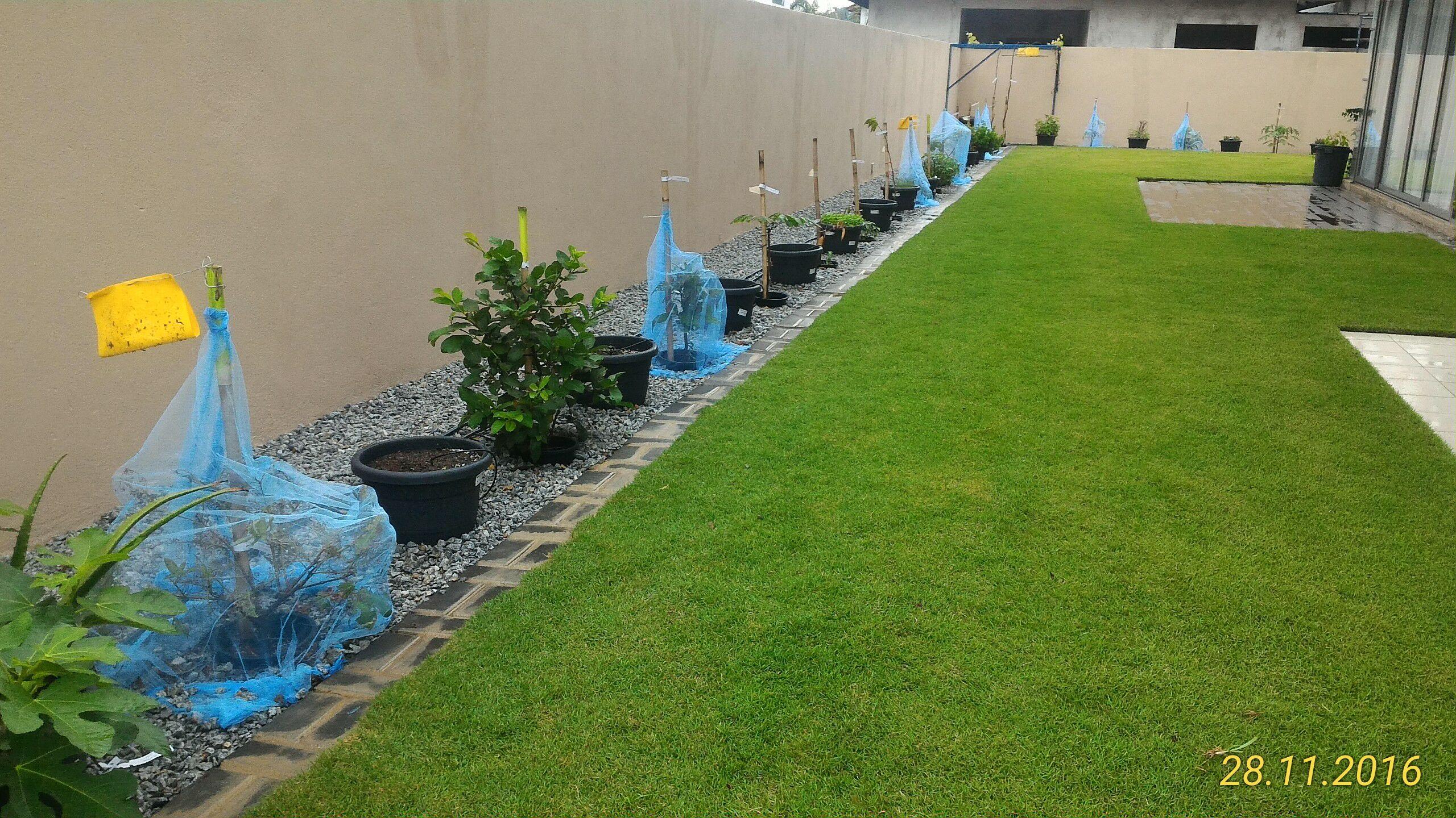 Barisan Pokok Tanaman bersama rumput menghijau