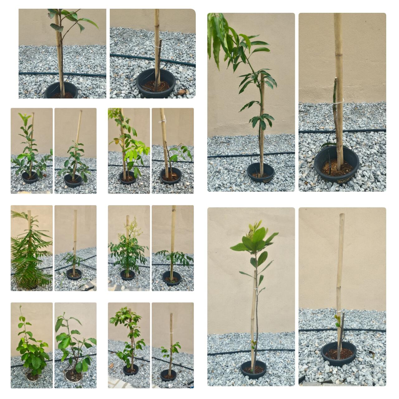 Pruning July Pokok Dusun bandar