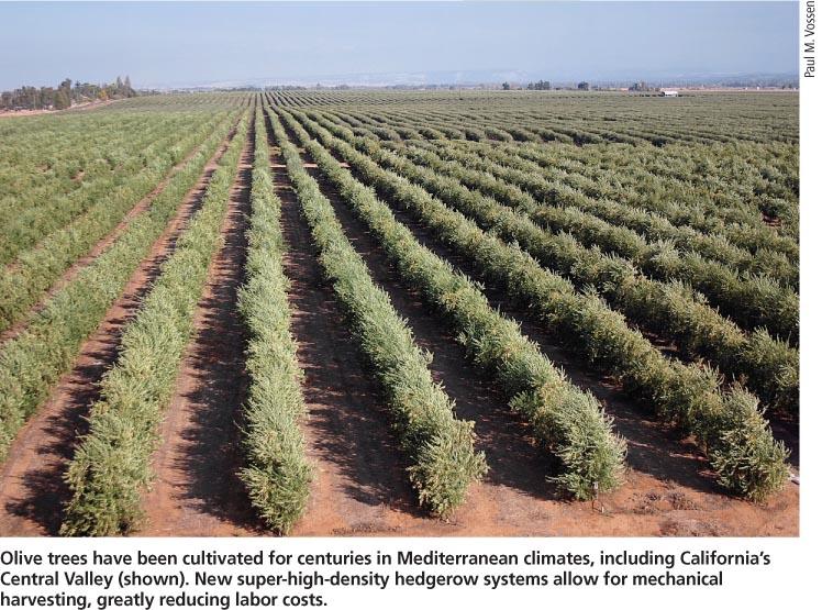 Super High Density Planting Olive Di Dusun Komersil Terkini