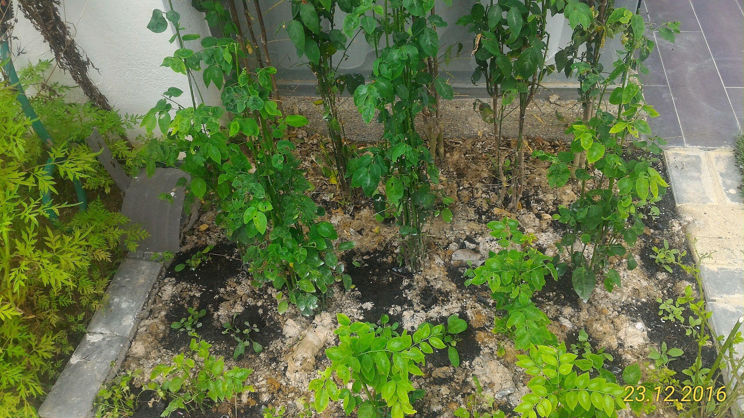 Companion Plant Berlapis Lapisan