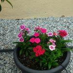 Dianthus di Dusun Bandar