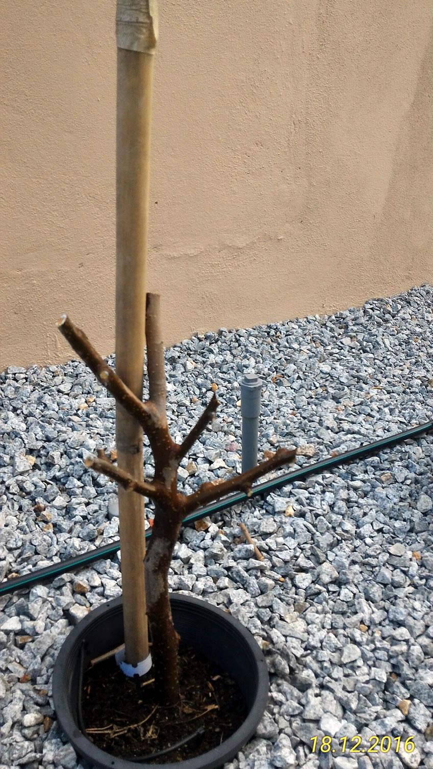 Pokok Mulberry di cantas sampai togel untuk menggalakkan pertumbuhan buah.