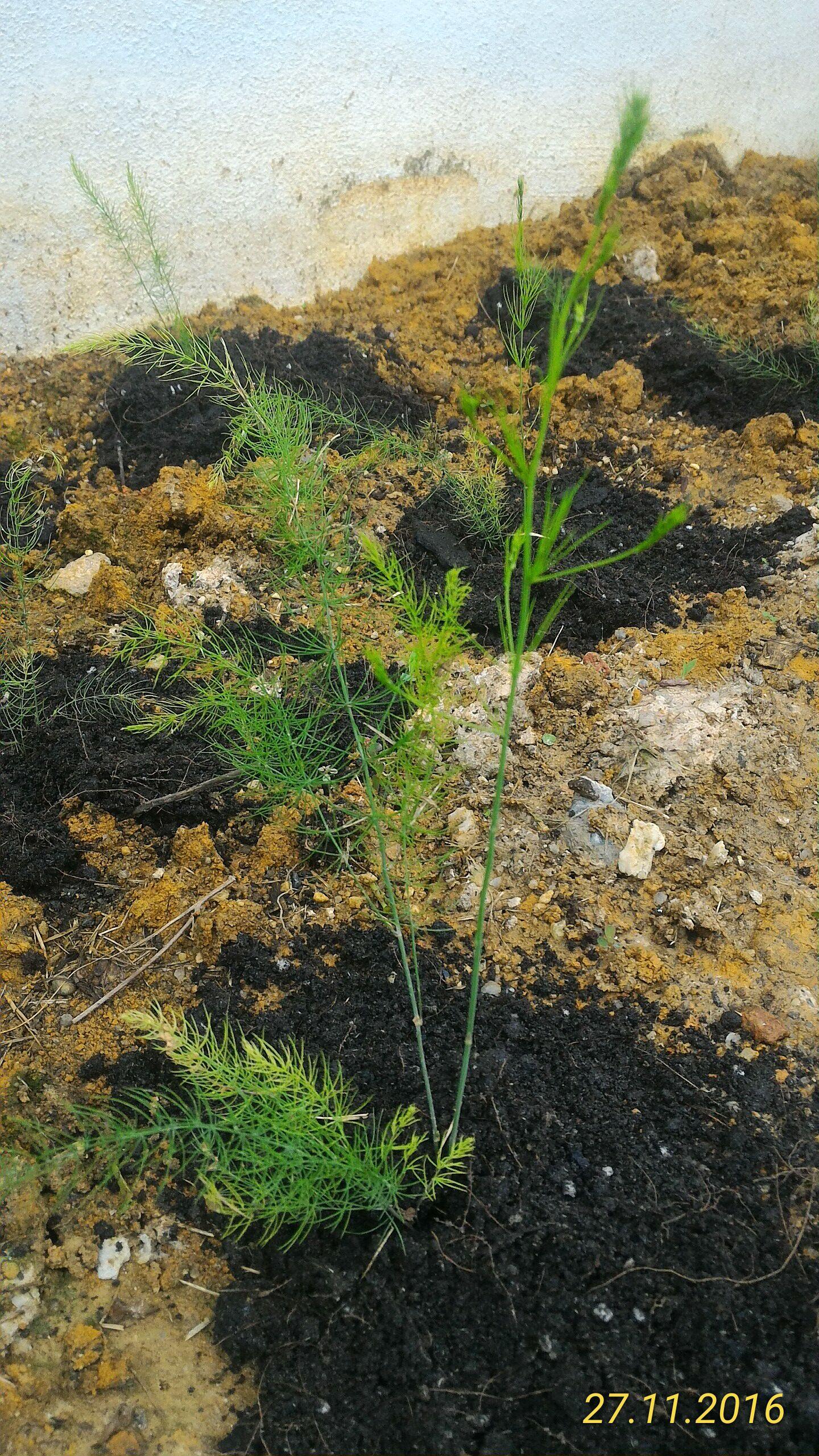 Anak anak pokok asparagus yang baru berumur sebulan lebih.