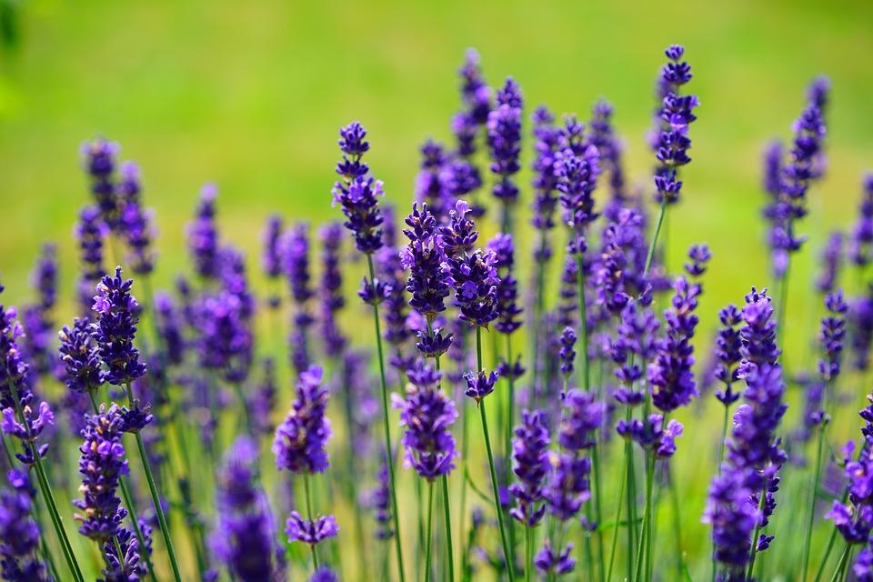 Tanam Lavender di Iklim Tropika Dusun Bandar